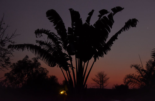 Traveller Palm   by Rod Waddington