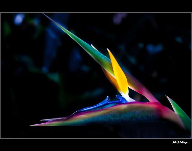 Esterlizia - Flor ave del Paraiso
