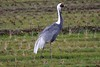 White-Naped Crane pose by blueeyes_inoki