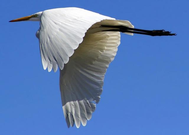Egrets, I still have a few