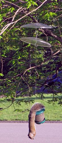 squirrels acrobat birdfeeders squirrelbaffle