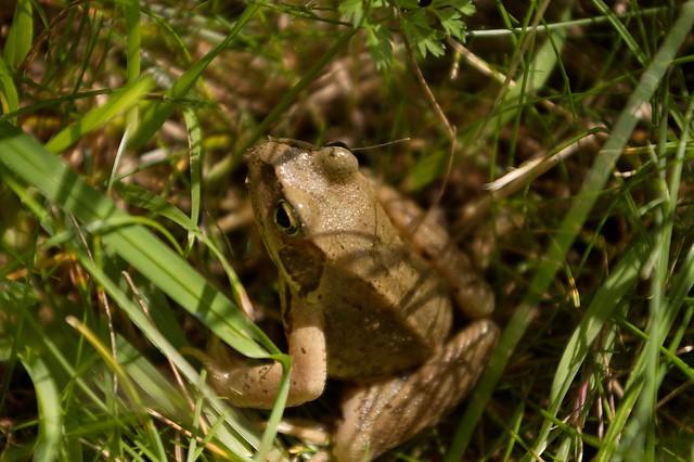 imgp9246 - Garden Frog