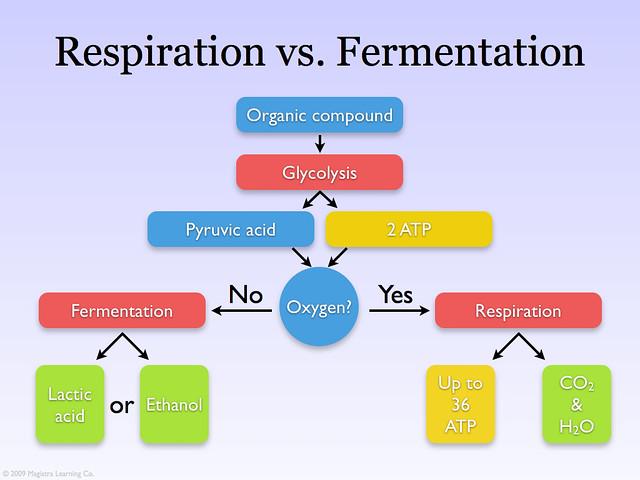 repiration vs  fermentation