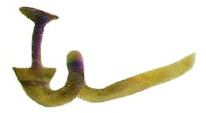 Acrotrichis cognata (Matthews, 1877) female genital