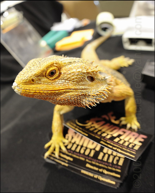 A Curious Bearded Dragon (Pagona viticeps) | August 22 and 2