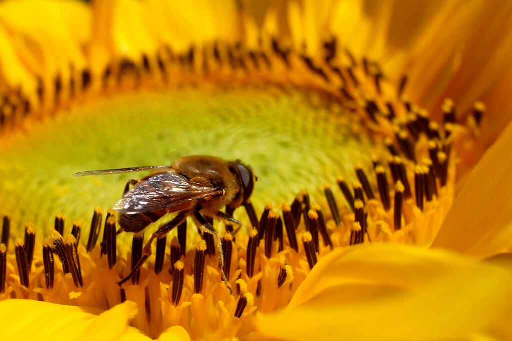 Miód ze słonecznika ... / Sunflower honey ...