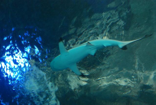 shark, Tokyo Aquarium