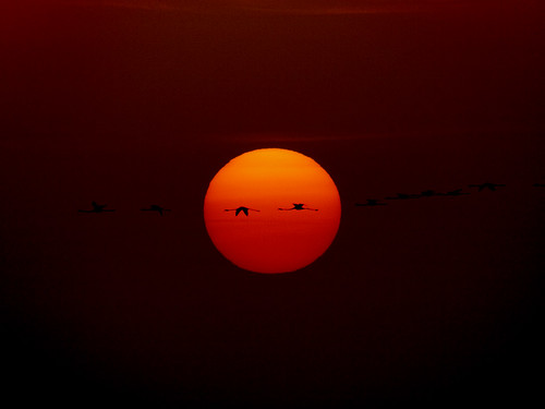 1000mm sunset with Pink Flamingo, Fenicotteri al tramonto