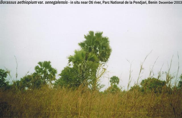 Borassus aethiopium var. senegalensis - in situ near Oti river, Parc National de la Pendjari, Benin Dec, 2003 Leo