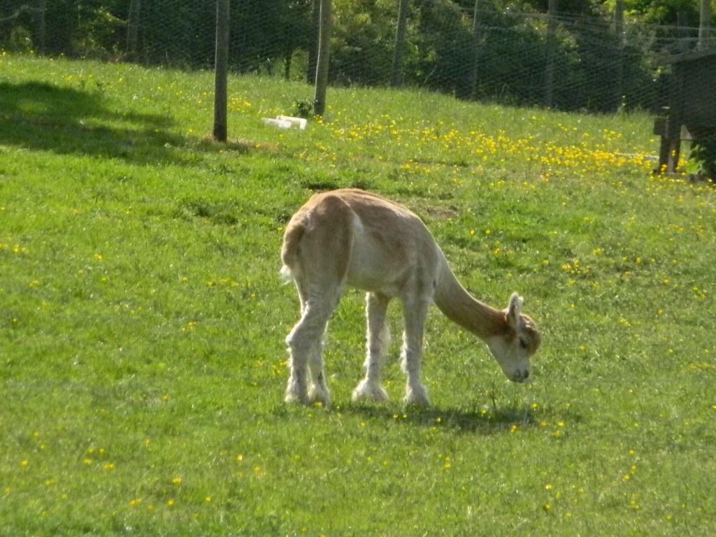 Alpaca Little Kimble to Saunderton