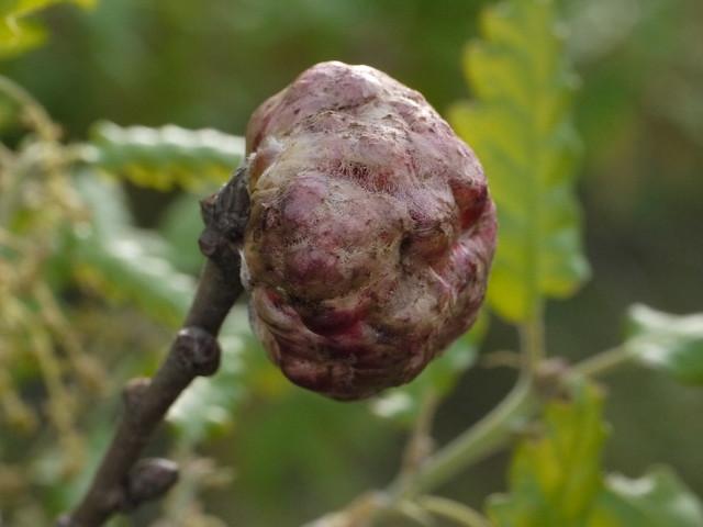 plant galls on oak  Gall, Galle an frischen Eichblättern