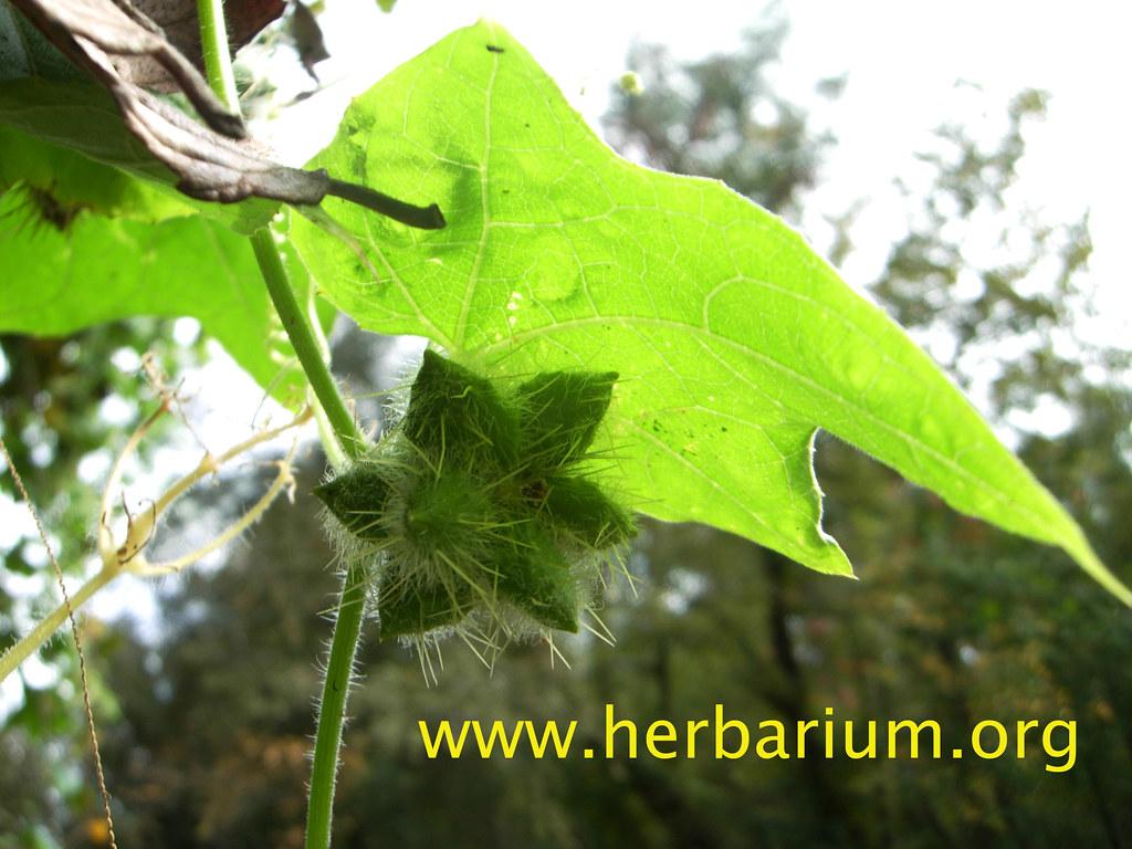 Bur-cucumber