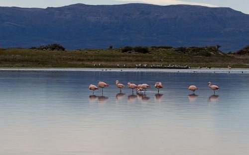 Flamingos   by Joel Mann
