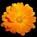 Pot Marigold - Photo (c) S BV, some rights reserved (CC BY-NC-SA)