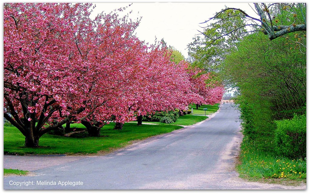 Blooming Pink Trees At Yarmouthport Cape Cod Massachuset Flickr