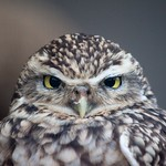 A surly burrowing owl