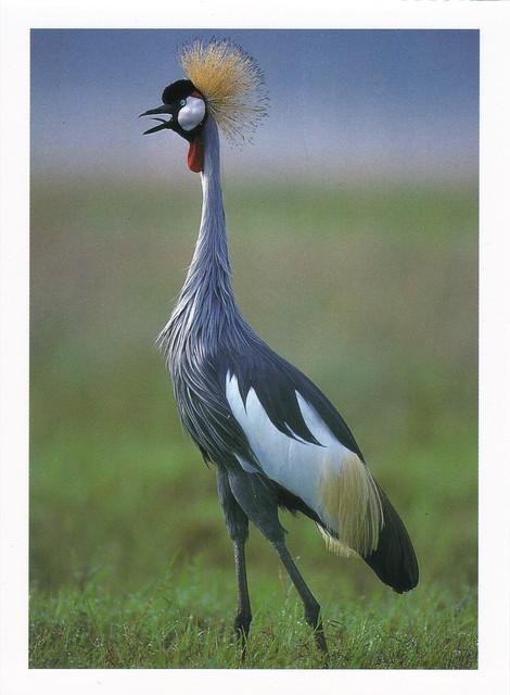 Gray Crowned Crane Postcard