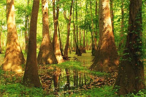 trees reflection green landscape swamp hdr highdynamicrange tupelo tnc tupelotrees