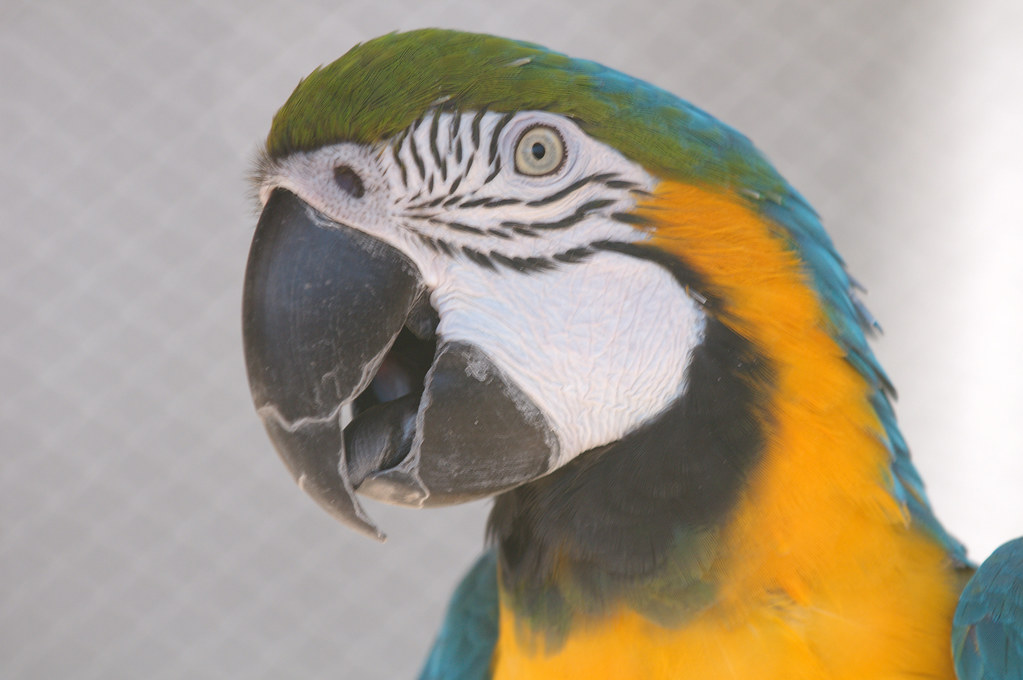Blue and gold macaw closeup 1