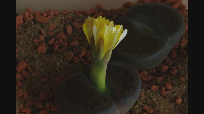 Lithops flower opening/closing - Time lapse HD video