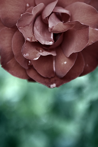 rose turkey türkiye petal konya mevlânamuseum