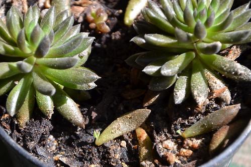 Sinocrassula yunnanensis 33023352321_7ec59d28f4