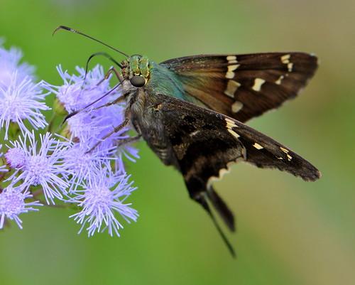 green butterfly nikon purple bokeh skipper longtailed d90