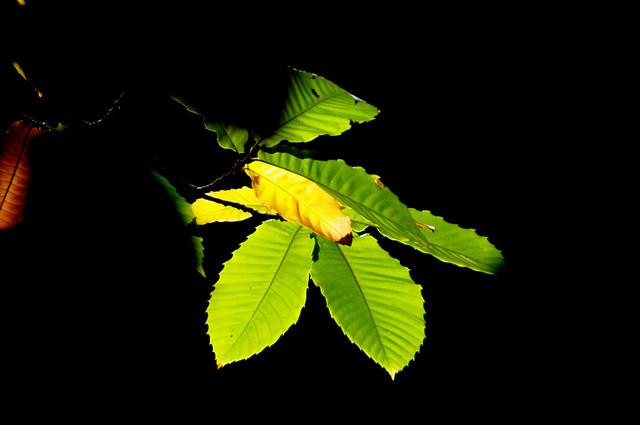hojas de castaño