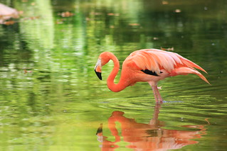 Flamingo on Green