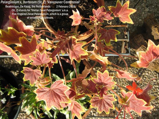 Pelargonium x. hortorum (St, Z) 'Vancouver Centennial' - Beatrixlaan, Kaag, NL 19 May 2008 03 Leo