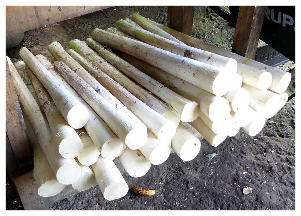 """Des grosses légumes de Costa Rica. Le coeur de palmier, prélevé du palmier """"bactris gasipaes"""". Il constitue un repas fréquent et traditionnel, en général consommé chaud."""