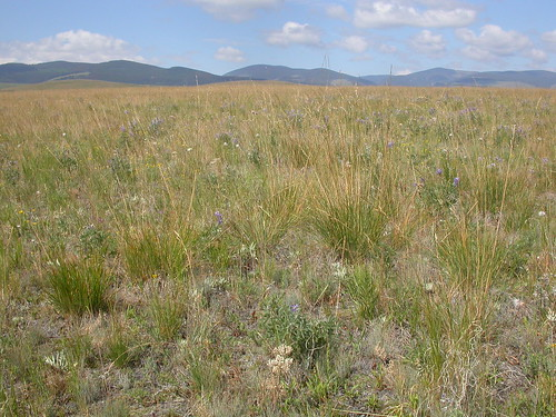grass midsummer habit habitat poaceae steppe perennial festuca bunchgrass fescue bigbeltmountains coolseason roughfescue drysite poeae festucacampestris festucascabrella