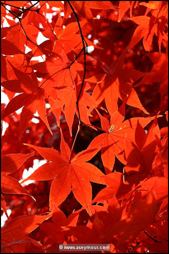 Japanese Maple (Fall)   by Seymour Digital Consulting, LLC