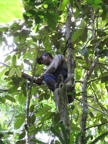 Thu, 07/31/2008 - 08:11 - Mateiro Ribamar climbing a tree to collect material; July 2008. Credit: Kyle Harms.