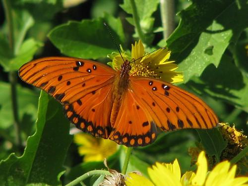 butterfly texas fritillary gulffritillary agraulisvanillae traviscounty balconescanyonlands mlhradio