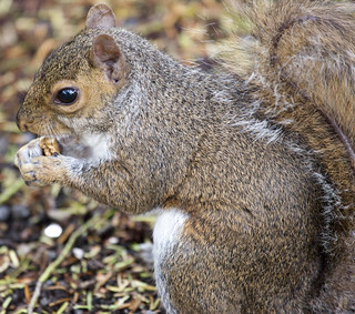 Botanic Gardens - Resident Grey Squirrel | by infomatique