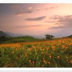 0850 台灣人文 自然風景 東台灣 花田 自然写真 - 金針花海 -  Flowers Field . 花 的 姿態  Flowers of TAIWAN  花蓮 富里 六十石山 花東縱谷風情 - Landscape of TAIWAN . 60stones mountain in Hualien county