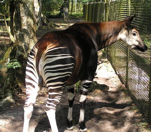 Mon, 03/12/2007 - 10:30 - Okapi. Credit: CTFS