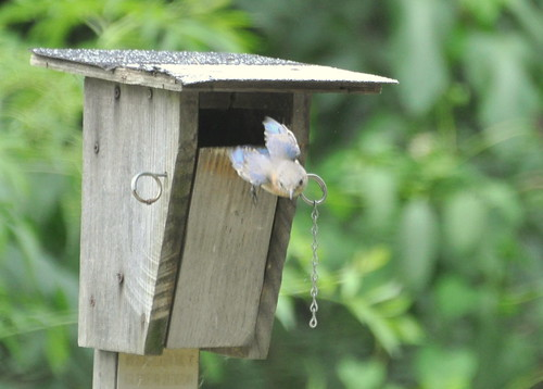 Eastern Bluebird (Sialia sialis) leaves nest box | by DaveMaherPhotos