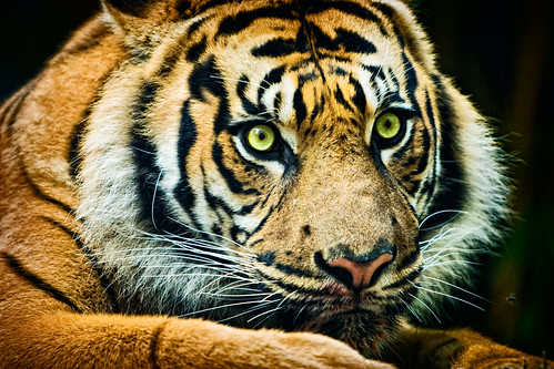 tiger_002 | by shutupyourface