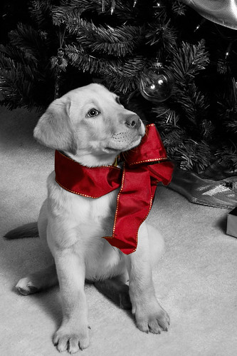 red bw black puppy bow baxter whote selectivecolor ghholt storybookwinner 12172009 storybookttwwinner