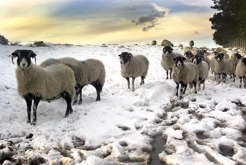 Winter Sheep | by Sheffield Tiger