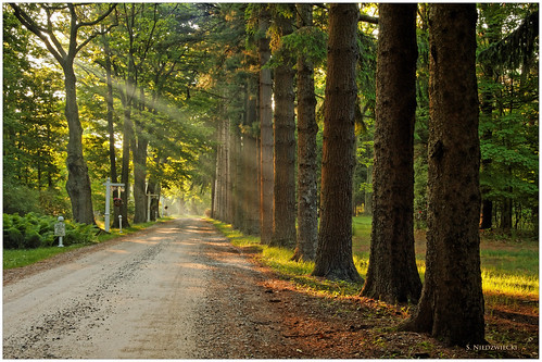 road morning trees light fog forest woods path driveway pines whitehall daybreak muskegon whitelake artprize stacyniedzwiecki stacycossolini puremichigan michillindalodge