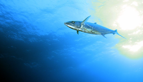 Narrow barred spanish mackerel | by PacificKlaus