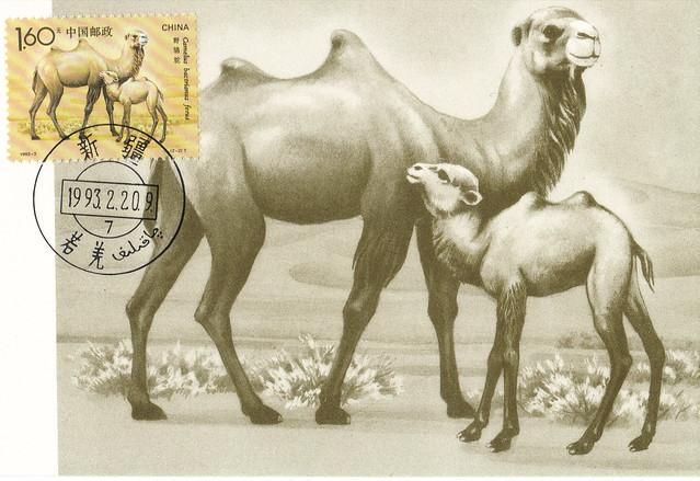 China Camels Maxi Card Postcard