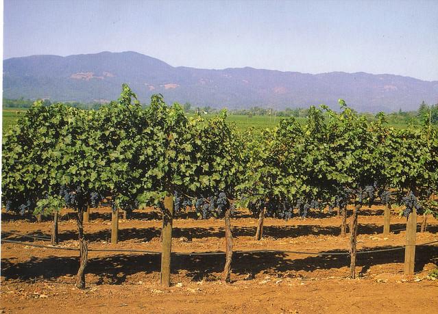 Napa California Vineyard Postcard