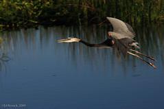 Great Blue Heron in flight | by Ed Rosack