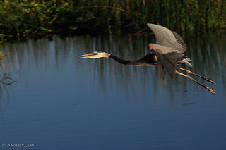 Great Blue Heron in flight | by Ed Rosack