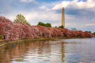Washington, DC - Cherry Blossom Festival   by PeterPanFan