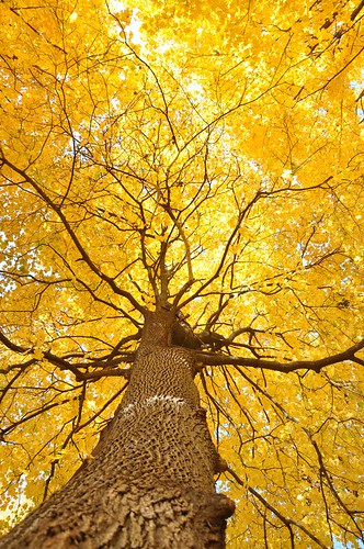 morning autumn sunlight tree fall up yellow gold maple published glow explore bark trunk promise flickrblog 401 tistheseason mortonarboretum upatree naturesfinest blueribbonwinner yabbadabbadoo impressedbeauty treesdiestandingup 28october2009 bestof2009yellow capturemychicago2010